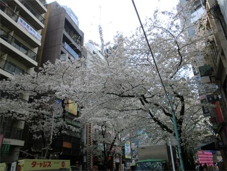 20130328sakura_f.jpg