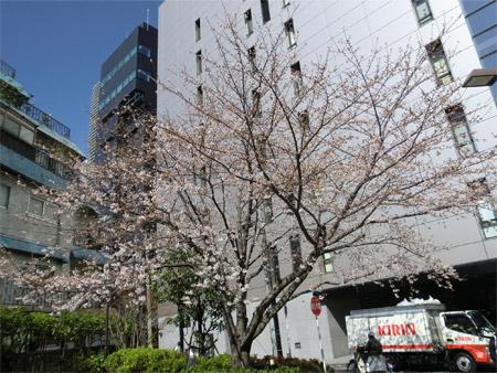 20130321sakura_c.jpg