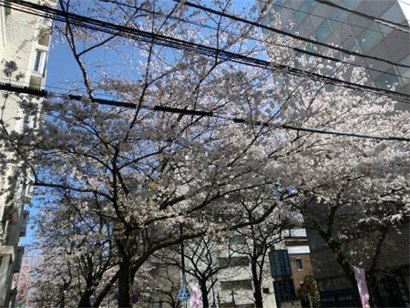 20130321sakura_d.jpg