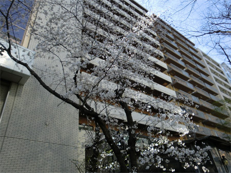 20130321sakura_e.jpg