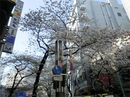 20130321sakura_f.jpg
