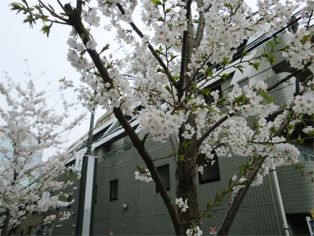 20130325sakura_b.jpg