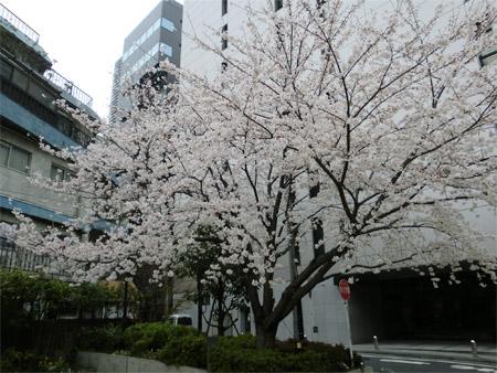 20130325sakura_c.jpg