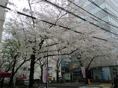 20130325sakura_d.jpg