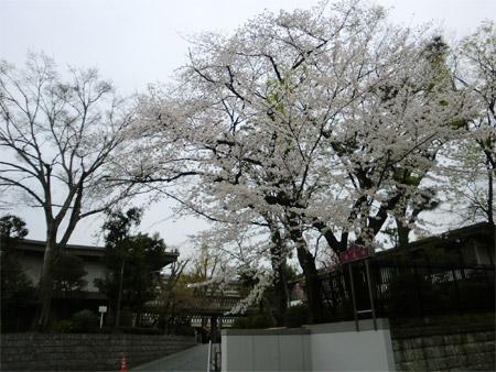 20130325sakura_e.jpg
