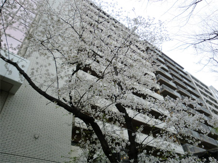 20130325sakura_f.jpg