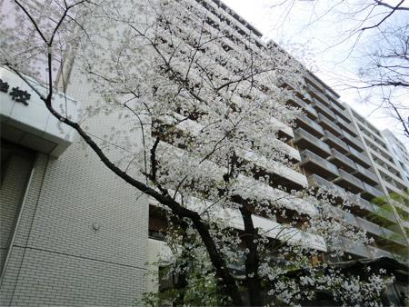 20130328sakura_e.jpg