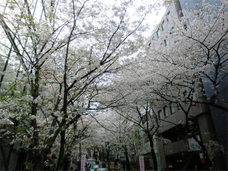 20130328sakura_g.jpg
