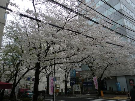 20130404sakura_a.JPG