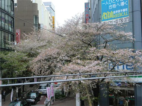 20130408sakura_e.jpg